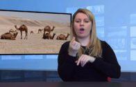 12 wielbłądy zdyskwalifikowane z konkursu piękności!