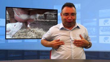 Krowa z biustonoszem – dlaczego?