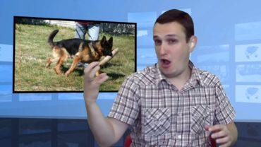 Psy owczarki zaatakowały dziewczynkę