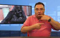 Zmarła KOKO  – gorylica znająca język migowy