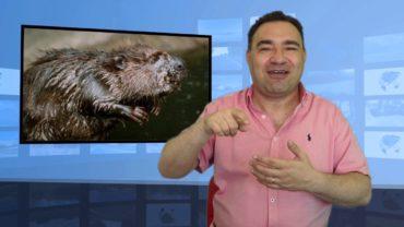 Czy będziemy jeść bobry?