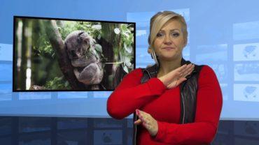 Koale zagrożone