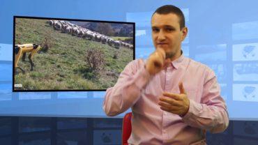Robot-pies pilnuje stada owiec w Nowej Zelandii